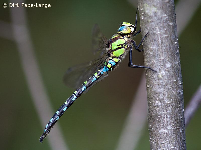Männchen der blaugrüne Mosaikjungfer