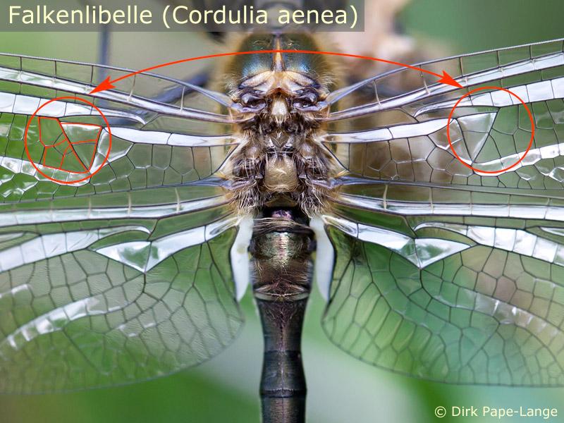 Unterschied auf beiden Vorderflügeln