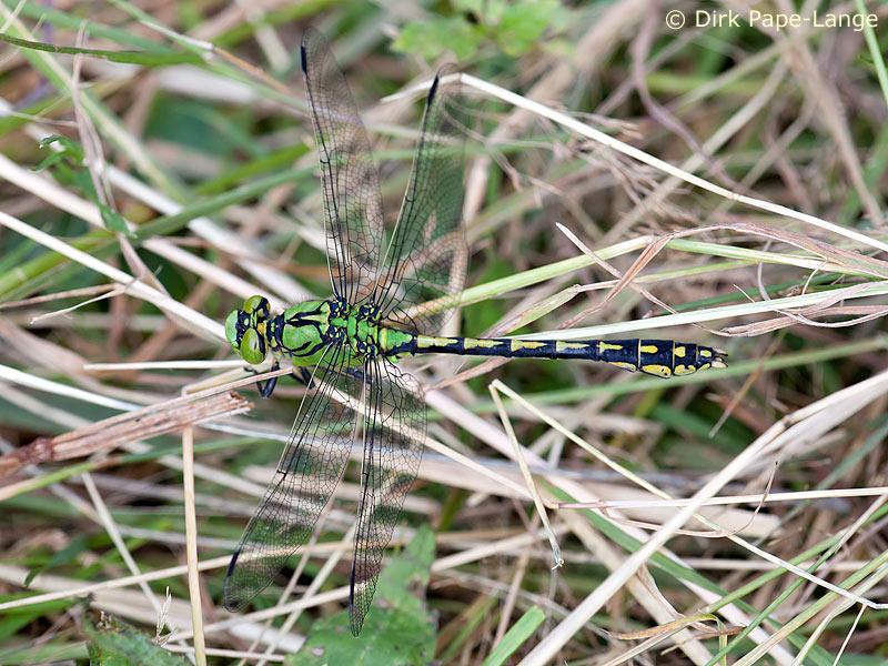 Männchen der Grünen Flussjungfer (Ophiogomphus cecilia)