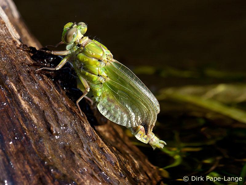 Grüne Flussjungfer (Ophiogomphus cecilia) beim Schlupf