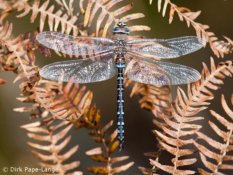 Herbst-Mosaikjungfer Männchen
