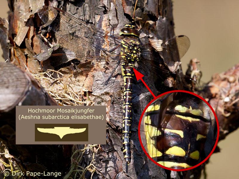 Weibchen der Hochmoor-Mosaikjungfer