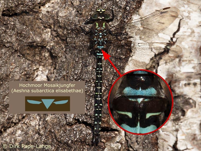 Ausgefärbtes Männchen der Hochmoor-Mosaikjungfer