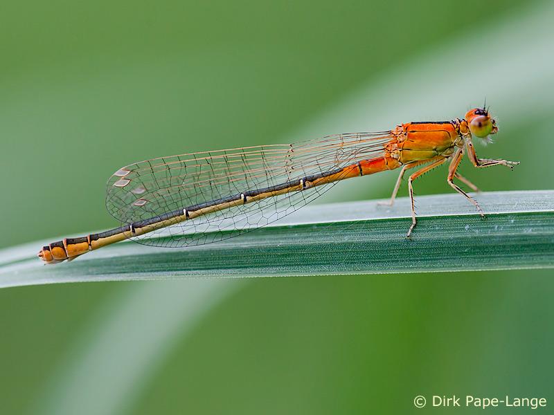 Weibchen der Kleinen Pechlibelle