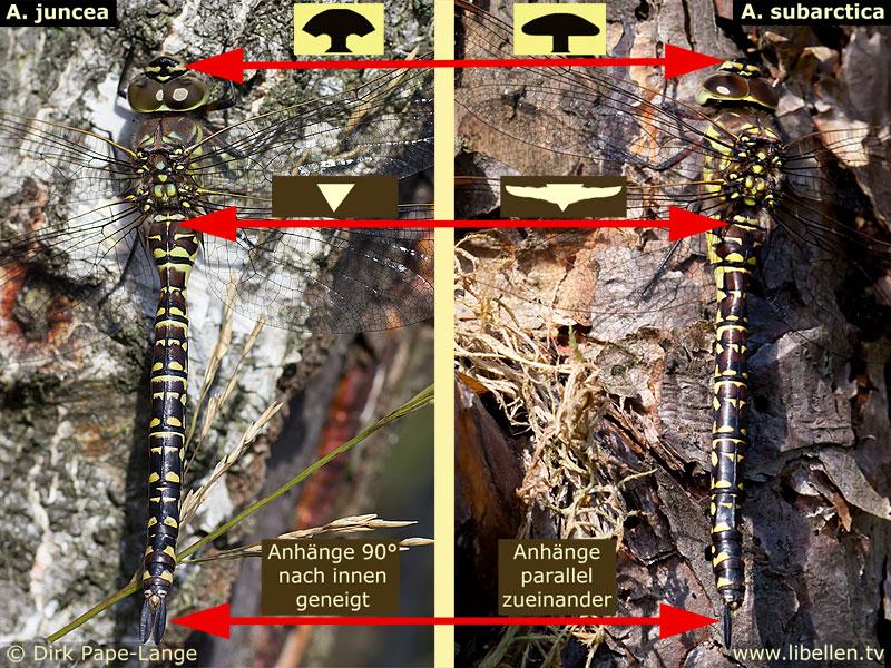 Weibchen der A. juncea und A. subarctica