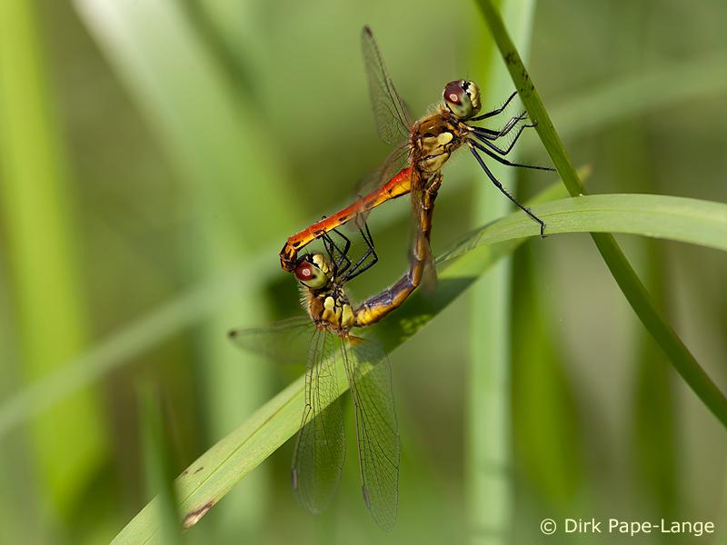 Paarungsrad der Sumpf-Heidelibelle