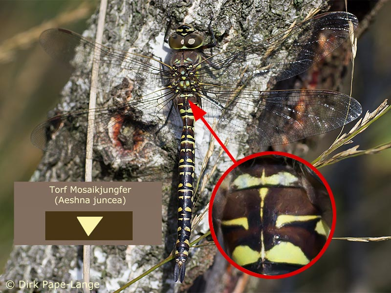Weibchen der Torf-Mosaikjungfer (Aeshna juncea)