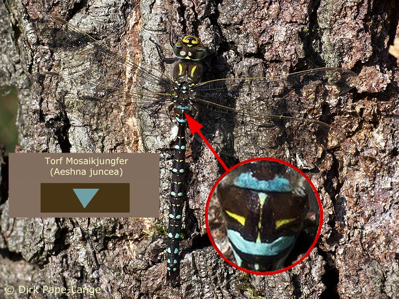 Männchen der Torf-Mosaikjungfer (Aeshna juncea)