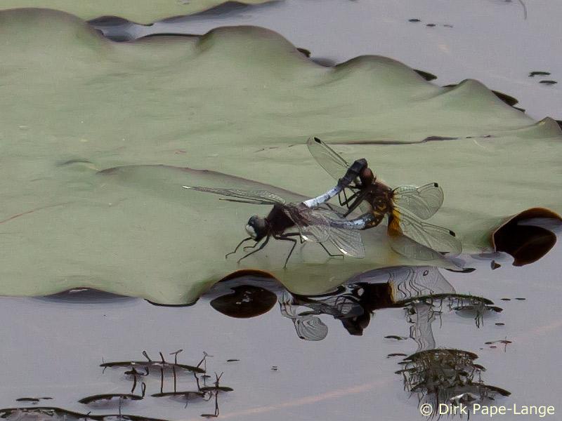 Zierliche Moosjungfer (Leucorrhinia caudalis) Paarung