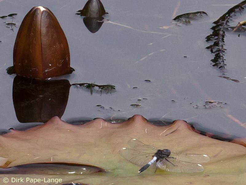Zierliche Moosjungfer (Leucorrhinia caudalis) Männchen