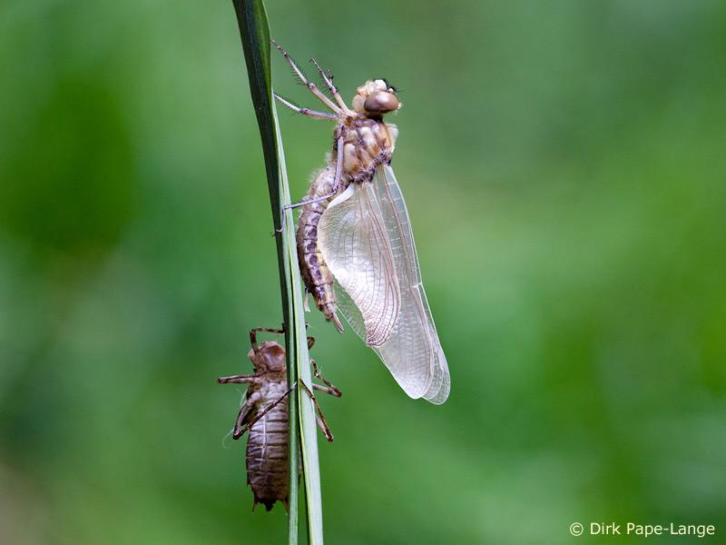 Schlupf Zweifleck Weibchen