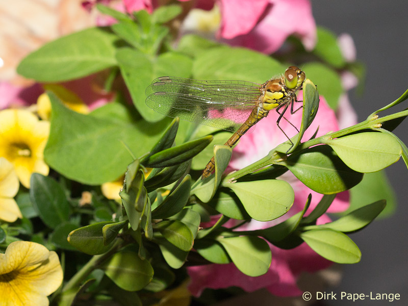 Heidelibelle im Blumentopf