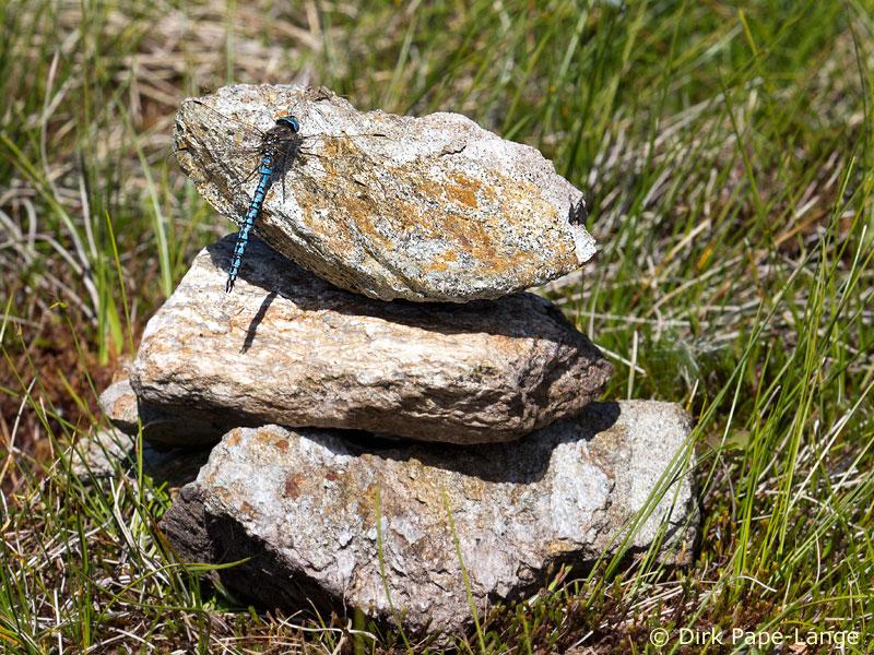 Alpen-Mosaikjungfer Männchen