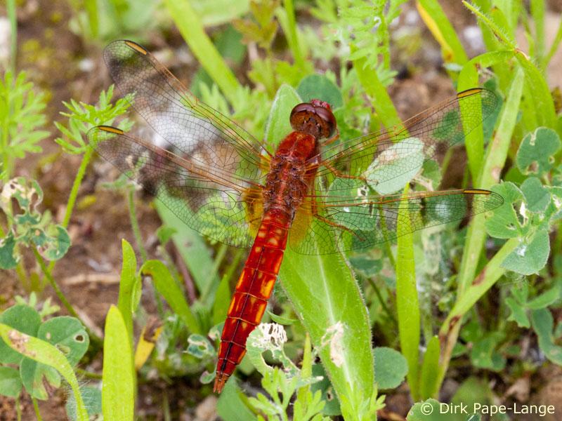 Libelle des Jahres 2011 - Feuerlibelle (Crocothemis erythraea)
