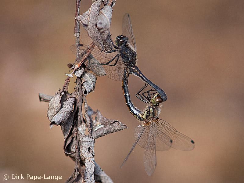 Schwarze Heidelibelle bei der Paarung