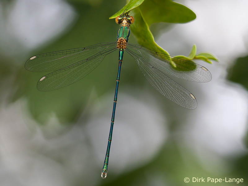 Weidenjungfer Chalcolestes-viridis