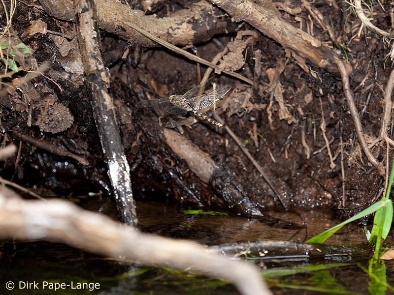Männchen der Westlichen Geisterlibelle bei der Suche nach einem Weibchen