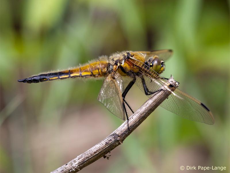 Predator regen for Fliegen aus blumenerde beseitigen