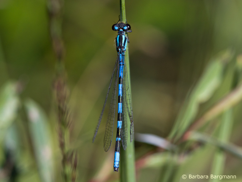 Coenagrion hylas - male