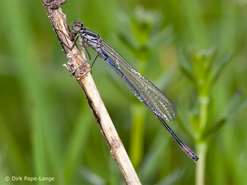 Coenagrion pulchellum - young male