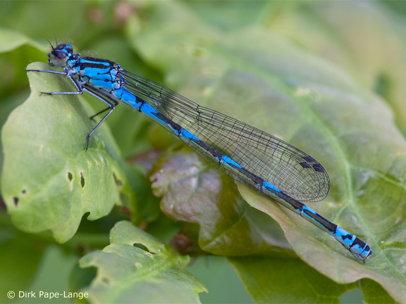 Coenagrion pulchellum - female