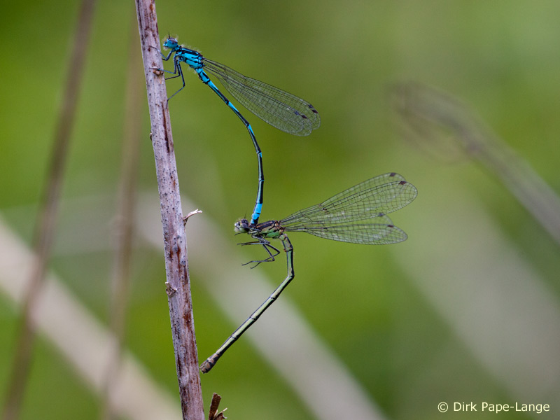 Coenagrion pulchellum - male