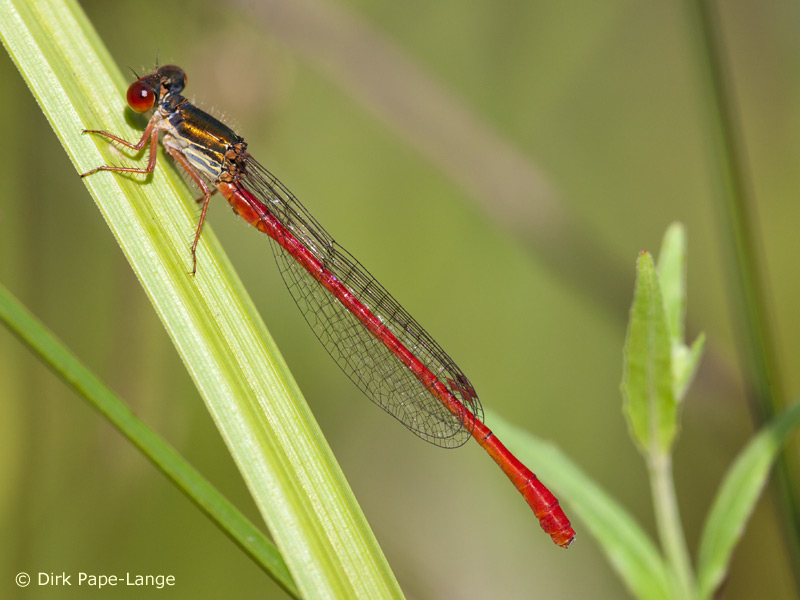 Ceriagrion tenellum - male