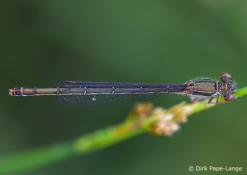 Ceriagrion tenellum - female