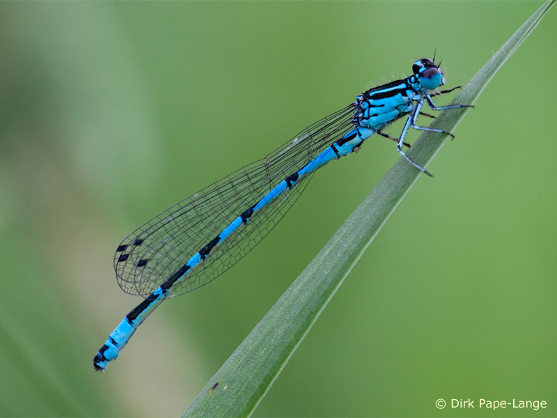 Coenagrion ornatum - male