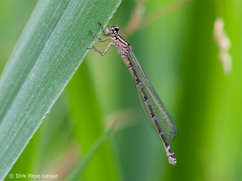 Coenagrion ornatum - female