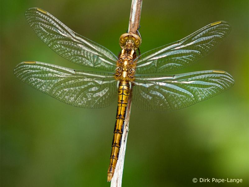 Orthetrum coerulescens - young male