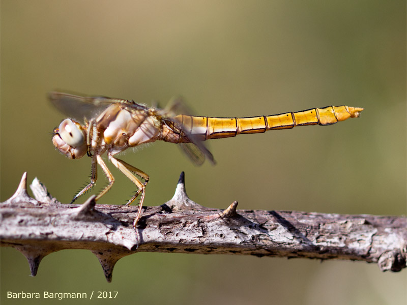 Orthetrum brunneum - young female