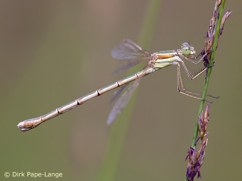 Lestes barbarus - female